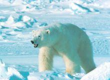 Vesti bune pentru ursii polari/ wikipedia