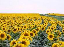 floarea-soarelui.jpg