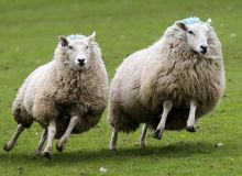Dog-attacking-sheep-1-810x680.jpg