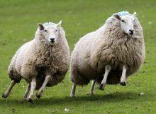 Dog-attacking-sheep-1-810x680.jpg
