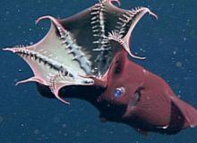 Vampyroteuthis.jpg