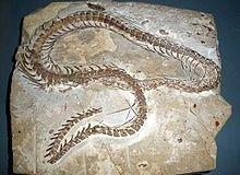 Fosila sarpelui Eupodophis descouensi. / examiner.com