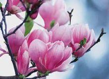 Magnolie in floare.jpg/forum.7p.ro