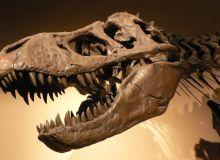 Tyrannosaurus Rex/wikipedia.org.jpg
