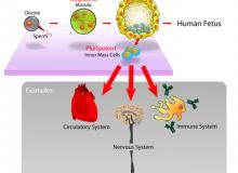 Noul procedeu ar putea elimina necesitatea celulelor stem