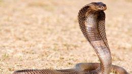 Cobra evadata