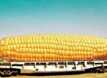Organismele modificate genetic si riscurile asupra sanatatii