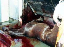 Caii salbatici din Delta Dunarii, pe cale de disparitie