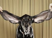 Harbor, mandrul posesor al celor mai lungi urechi din lume/independent.ie.jpg