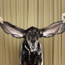 Harbor, mandrul posesor al celor mai lungi urechi din lume