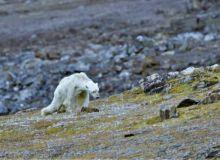 urs-polar-incalzire-climatica-video.jpg