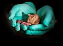 baby-mice-have-been-born-to-two-mothers-in-a-breakthrough-study-that-could-spell-hope-for-gay-couple_826856_.jpg