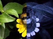 Cum vad culorile oamenii (stanga) si albinele (dreapta) / PhysOrg