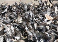5.000 de pasari au murit de la inceputul anului in SUA/sxc.hu