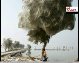 Copacii din Sindh