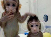 maimute-clonate.jpg