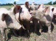 image-2018-10-11-22751623-46-pesta-porcina-africana.jpg